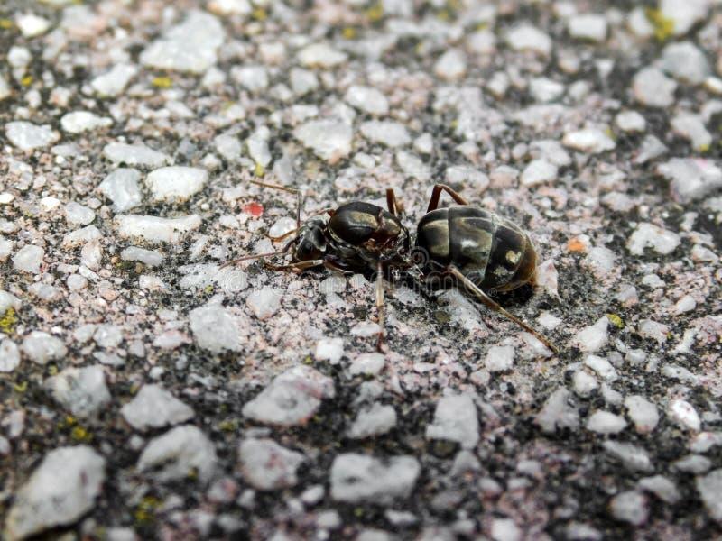 królowej mrówka obraz stock