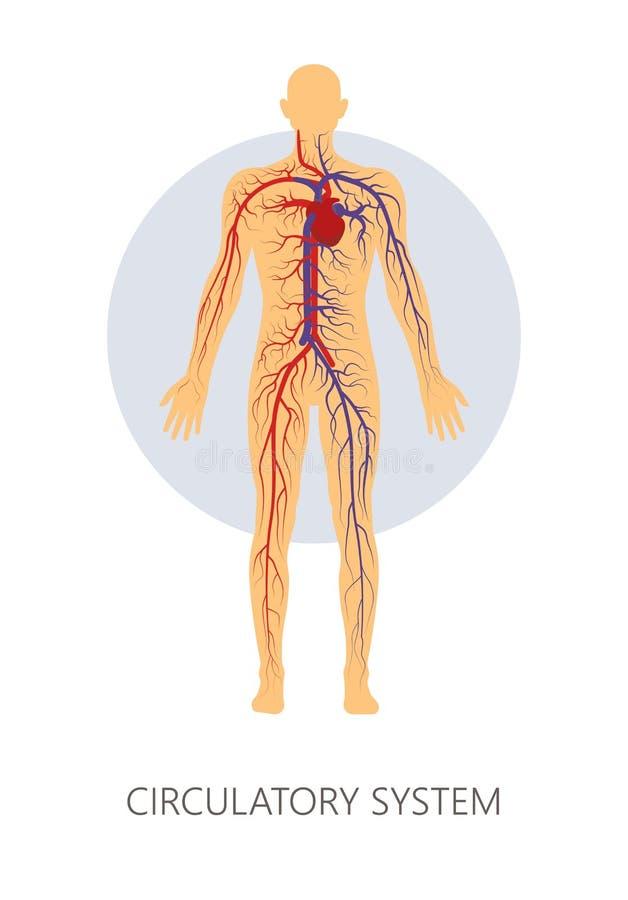 Krążeniowy system odizolowywał ludzkie anatomii żyły, naczynia i royalty ilustracja