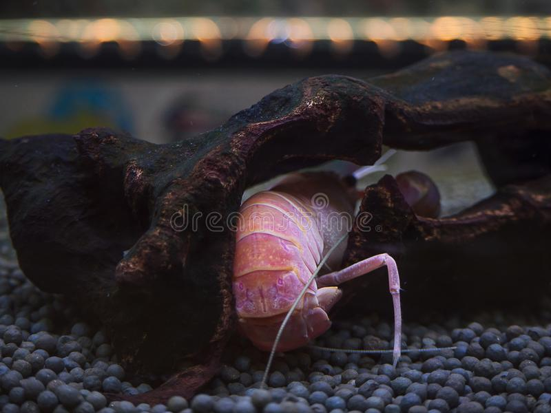 Kräftan Procambarus Clarkii, döljer i skyddet royaltyfria bilder