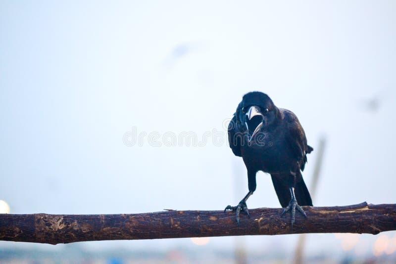 krähe stockfotografie
