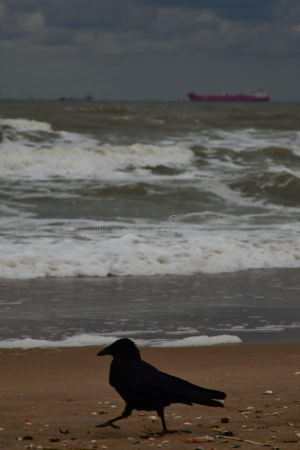 Krähe auf dem Strand lizenzfreie stockbilder