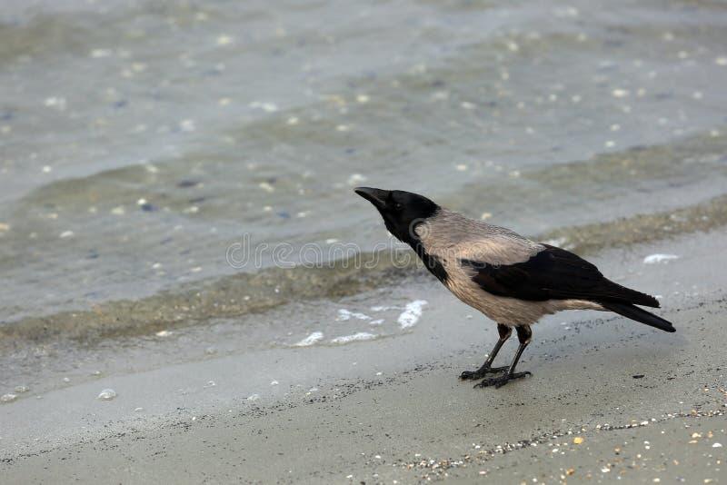 Krähe auf dem Strand lizenzfreie stockfotos