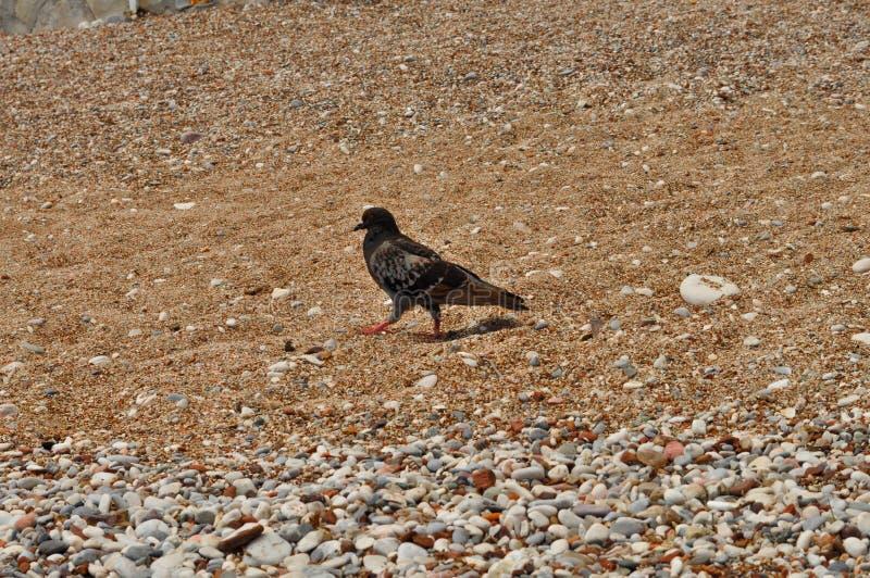 Krähe auf dem Strand lizenzfreie stockfotografie