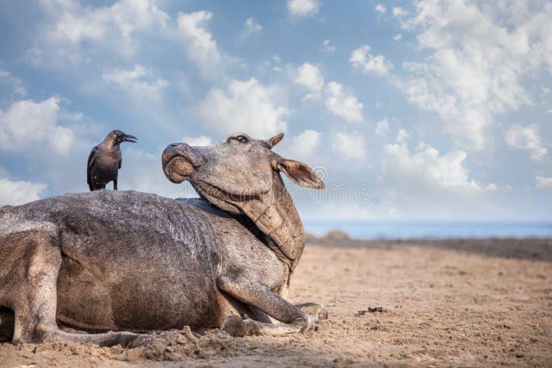 Krähe auf der Kuh in Indien stockbilder