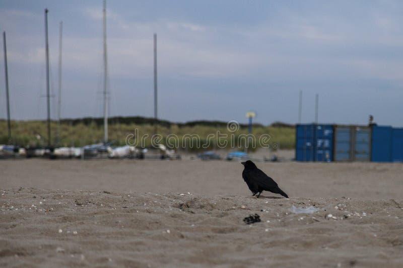 Krähe auf Strand stockbild