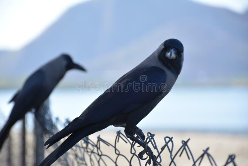 Krähe, die Sie betrachtet stockfotografie