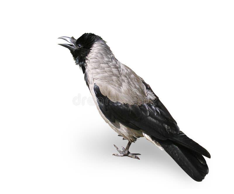 Krähe - ein Vogel getrennt auf weißem Hintergrund lizenzfreie stockfotos