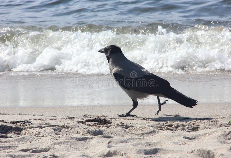 Krähe geht auf den Sand auf dem Strand nahe dem Meer stockfotos