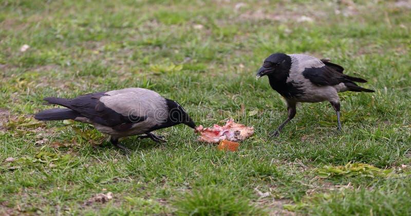 Krähen teilen ein Stück Nahrung auf dem Gras stockfotos