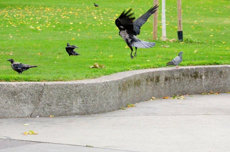 Krähen und Tauben im Park stockbild
