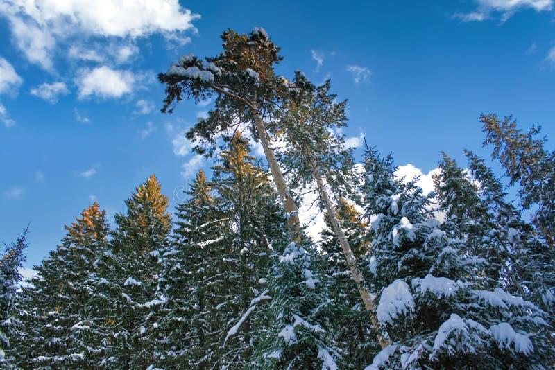 Kräkor av hög gran och tallträd täckta med snö mot en bakgrund av blå himmel och vita moln arkivfoto