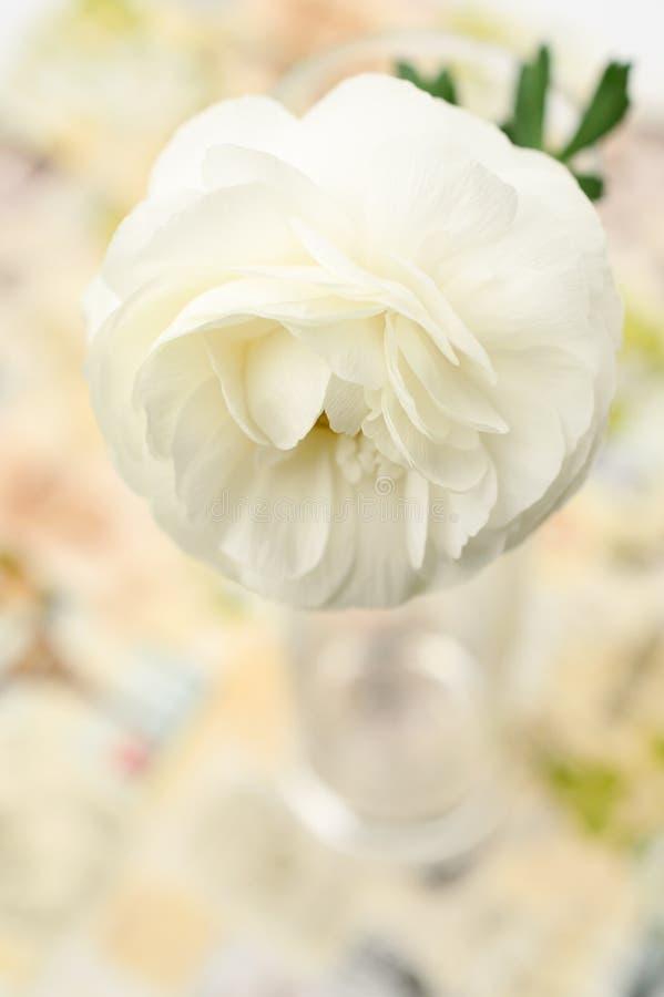 Kräm-färgad Ranunculusasiaticusblomma royaltyfri bild
