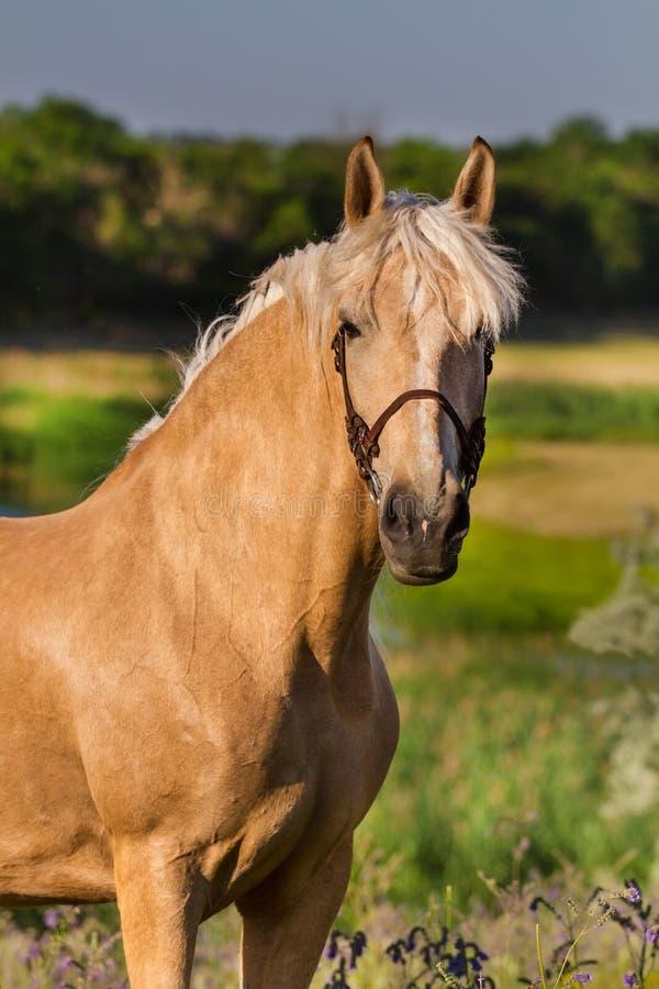 Kräm- häst royaltyfria foton