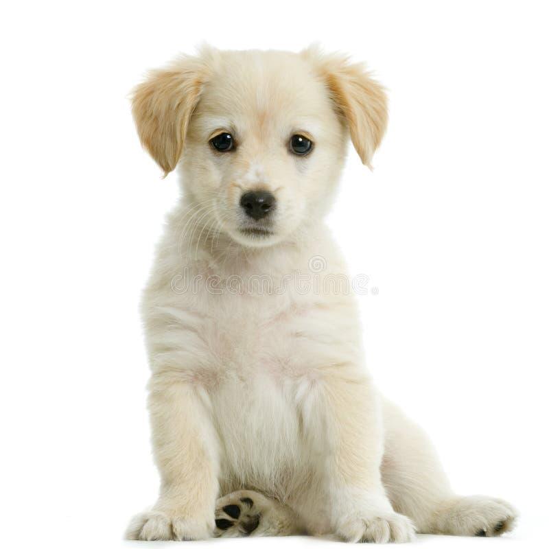 kräm- labrador retriever royaltyfri foto
