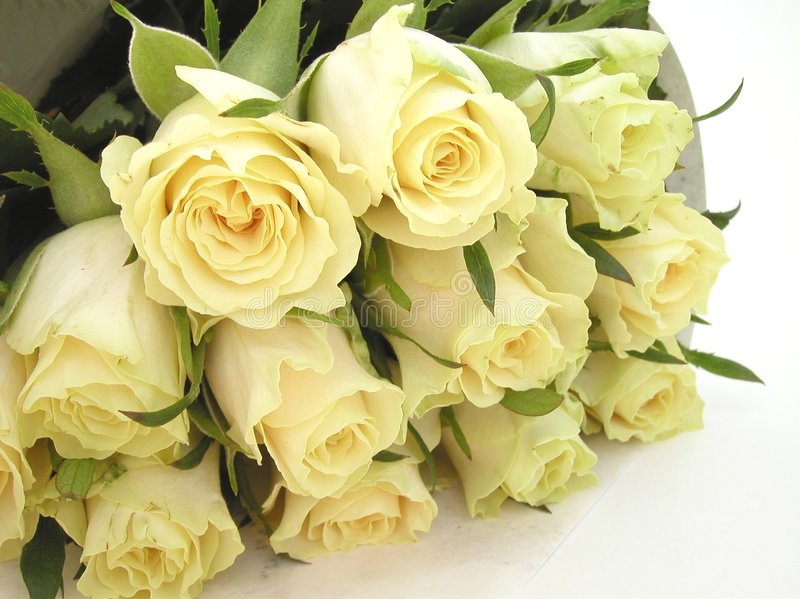 kräm- rosebuds royaltyfri foto