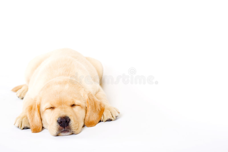 kräm- sömnig labrador valpretriever royaltyfria foton
