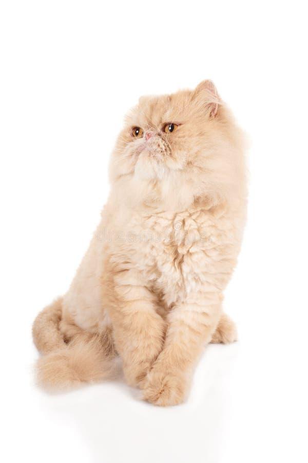 Kräm- sammanträde för den persiska katten för färg med skrämt tystar ned fotografering för bildbyråer
