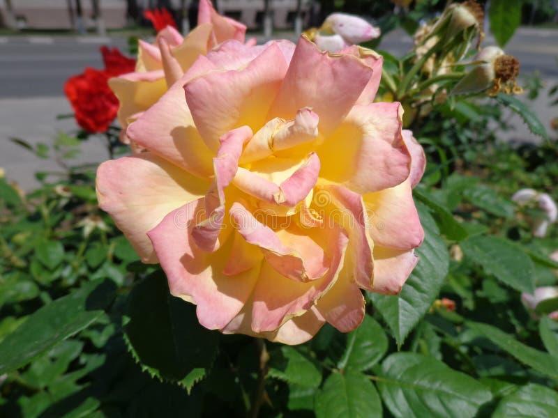Kräm steg på blomsterrabatten arkivbild