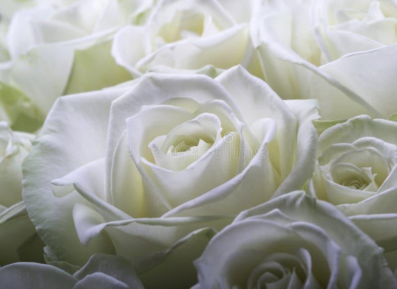 Kräm- vita rosor arkivfoton