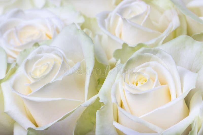 Kräm- vita rosor royaltyfri bild