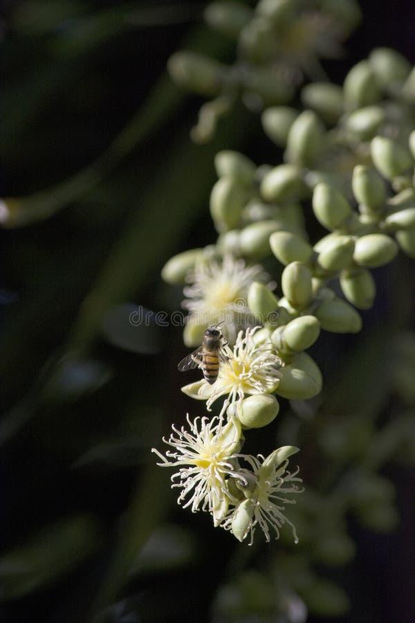 Krämigt - den vita foxtailen gömma i handflatan blommor med en honungsbi arkivfoto