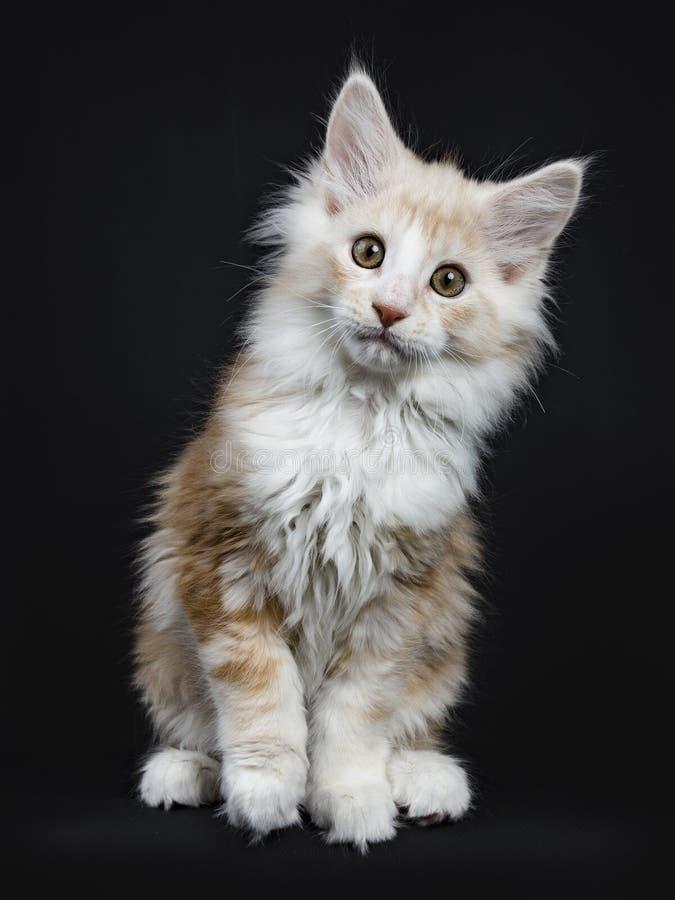 KrämMaine Coon katt/kattunge royaltyfria foton