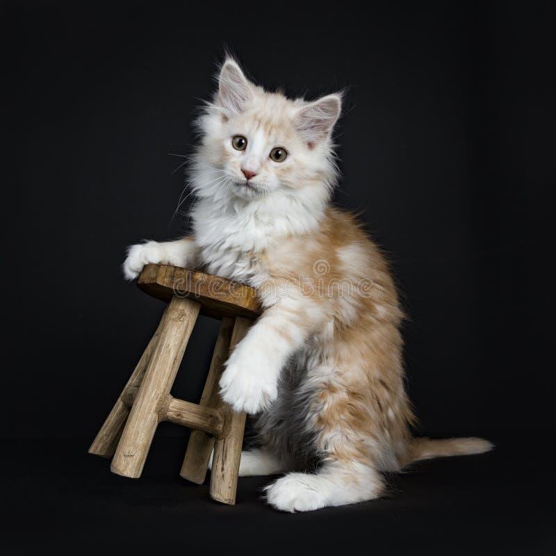 KrämMaine Coon katt/kattunge arkivfoton