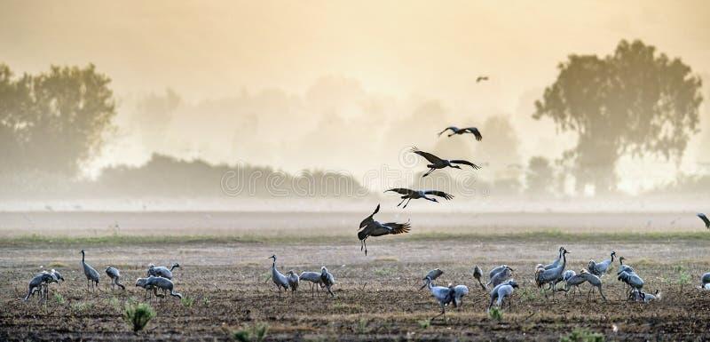 Kräne in einem Feldherumsuchen Allgemeiner Kran, Grus Grus, im natürlichen Lebensraum Fütterung der Kräne bei Sonnenaufgang im Na stockbild