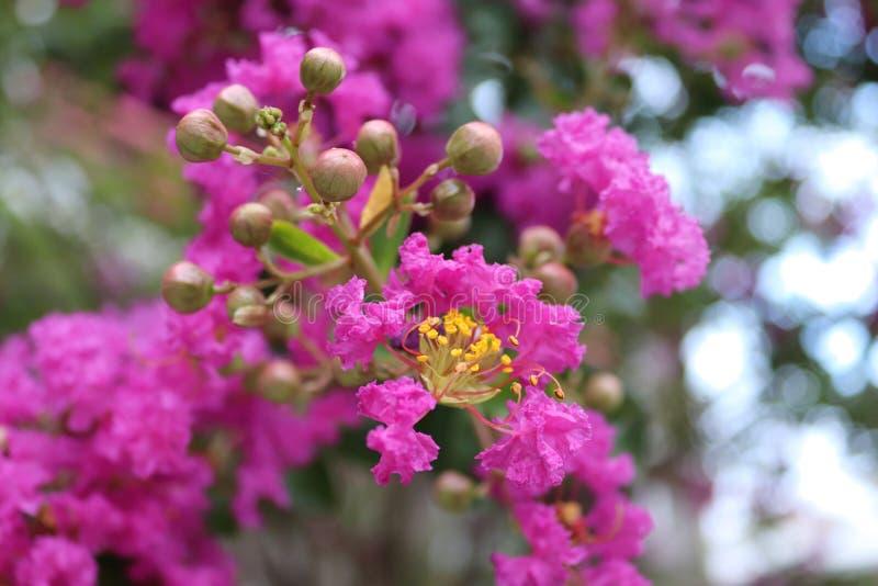 Kräppmyrten blommar och kapslar, kräppmyrten, Lagerstroemia Tropisk och subtropisk rosa blomningbuske, Texas, USA fotografering för bildbyråer