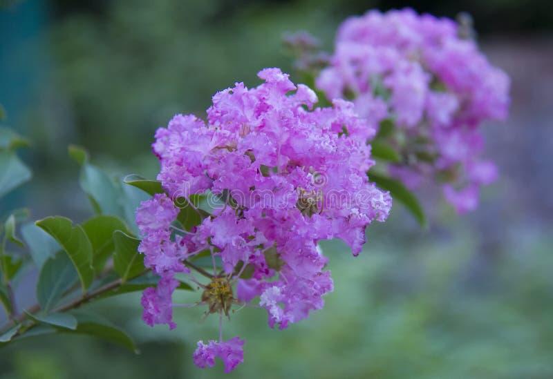 KräppMyrtle Catawba blomma royaltyfria foton