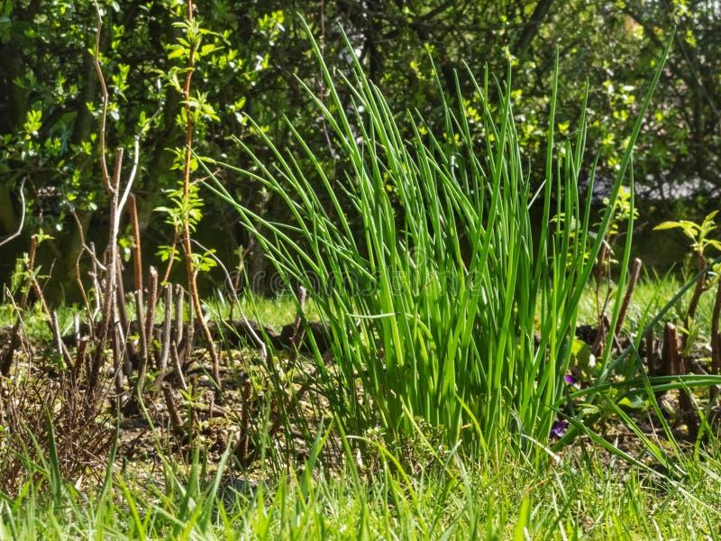 Kräuter - Schnittlauche im Garten lizenzfreies stockfoto