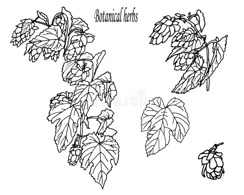 Kräuter und wilde floweres Stellen Sie von den Botanikblumen ein Hopfen lizenzfreie abbildung