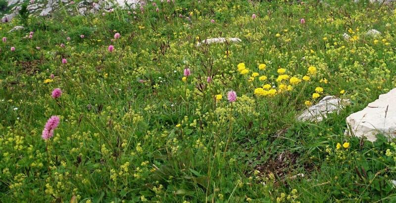 Kräuter von Alpenwiesen lizenzfreie stockfotos