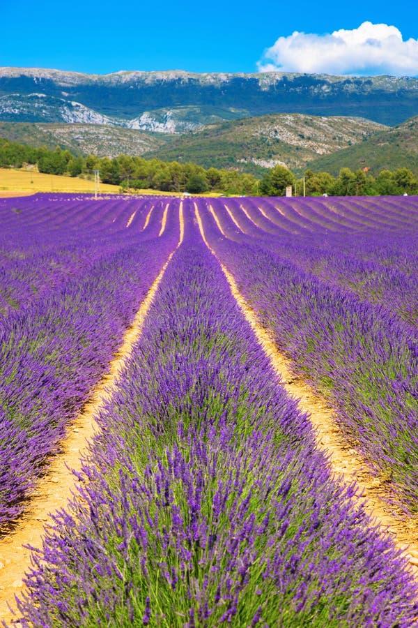 Kräuterlandschaft der aromatischen Anlage Purpurrote Blumen lizenzfreies stockbild