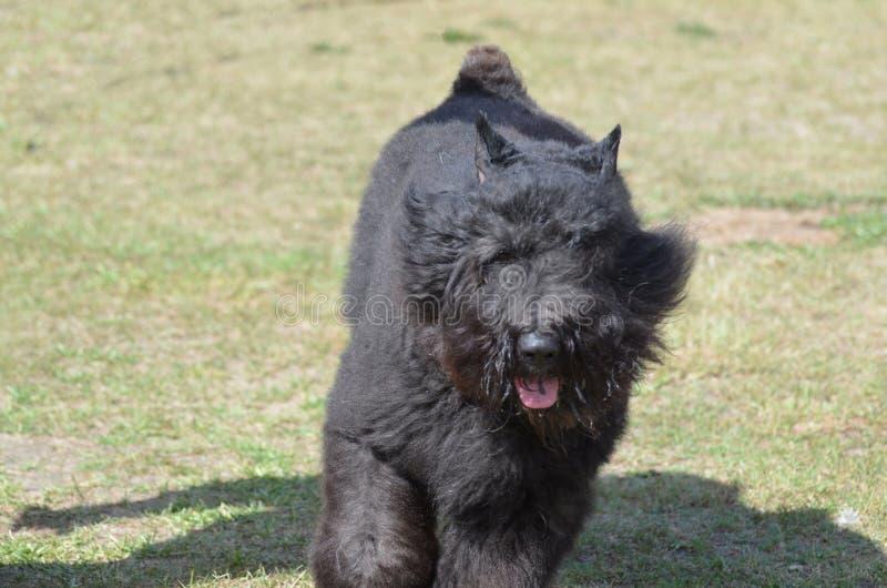Kråma sig svart hund för Bouviers Des Flanders royaltyfri bild
