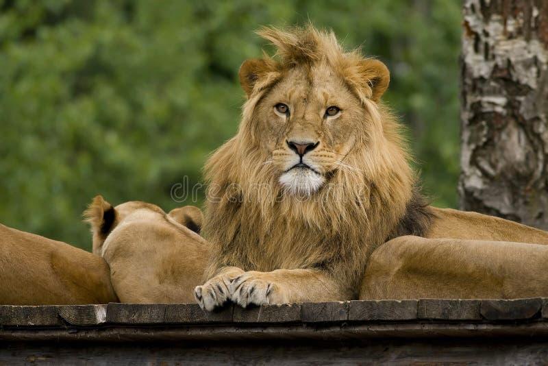 król lew obraz stock