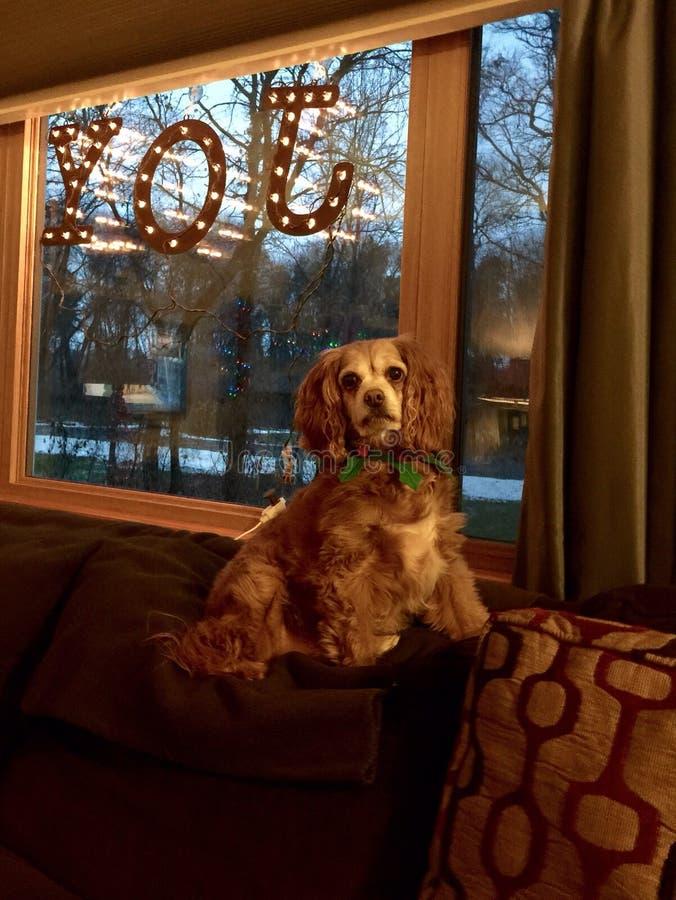 Królewiątka Caviler Charles spaniela pies zdjęcie royalty free