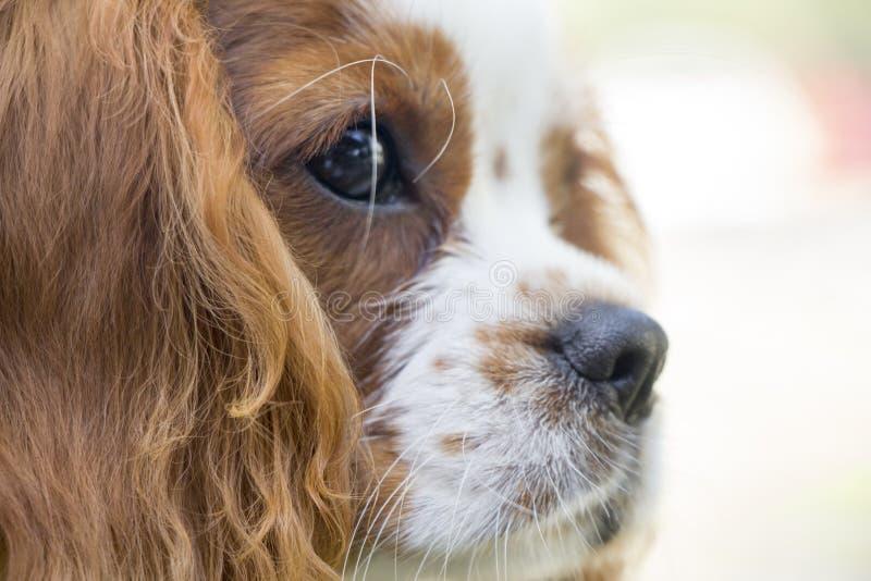 Królewiątka Charles spaniela psa królewiątka Charles spaniela psa traken spaniela typ Królewiątka Charles spaniela psa traken spa fotografia royalty free