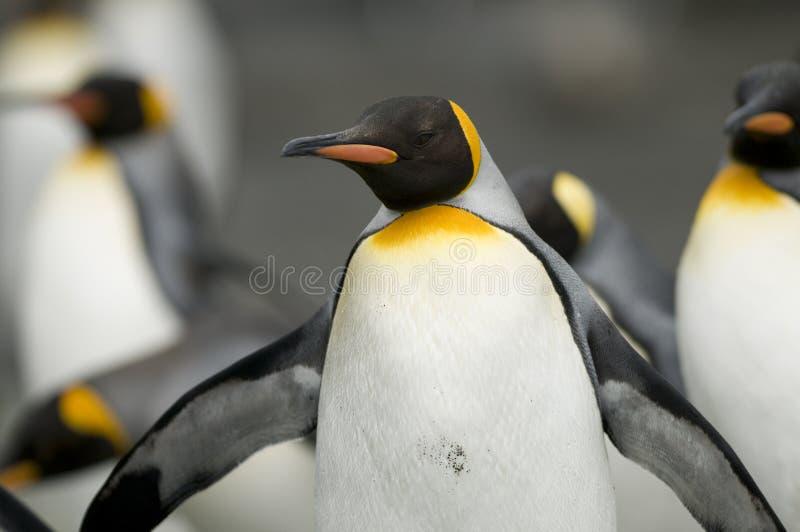 królewiątka otwarci pingwinu skrzydła obrazy royalty free