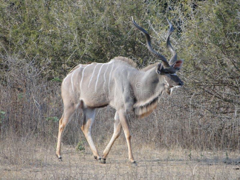 Królewiątko kudu zdjęcie royalty free