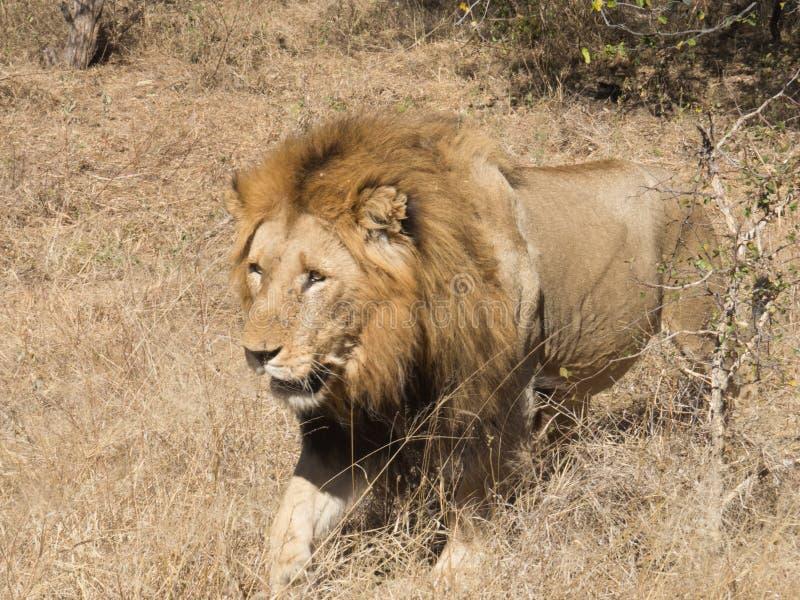 Królewiątko lew w Kruger zdjęcia royalty free