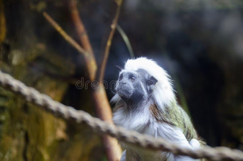 Królewiątko małpa na drzewie w dżungli fotografia stock