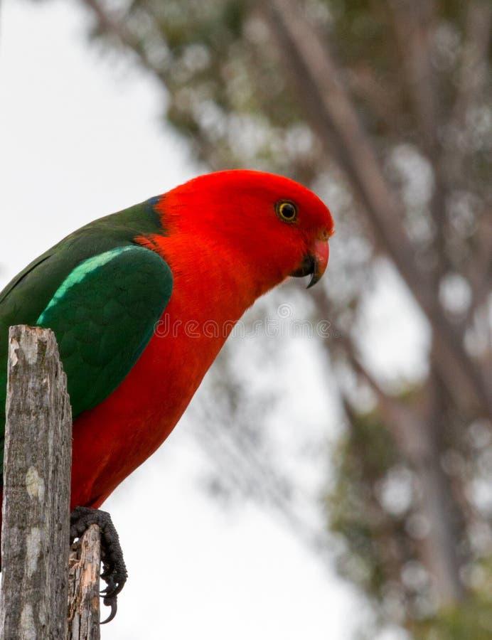 Królewiątko papuga w Drouin Wiktoria Australia zdjęcie stock
