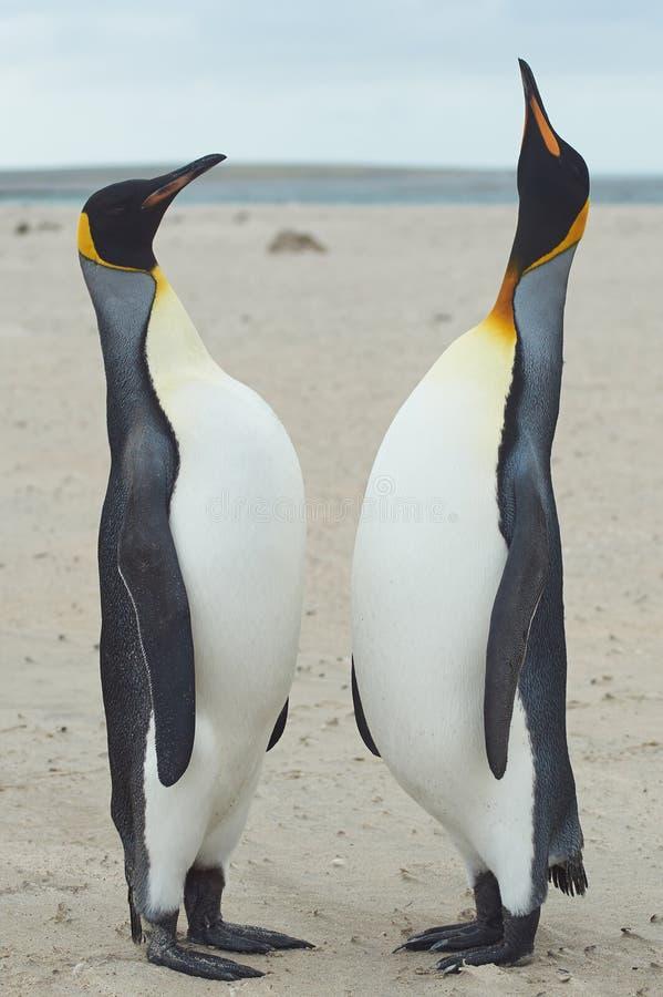 Królewiątko pingwinów spotkanie na Piaskowatej plaży zdjęcia stock