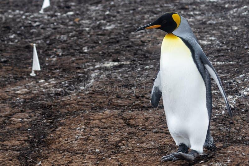 Królewiątko pingwin, Falkland wyspa, Ameryka Południowa fotografia stock