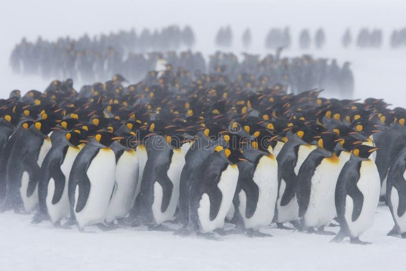 Królewiątko pingwinu skupisko obraz royalty free