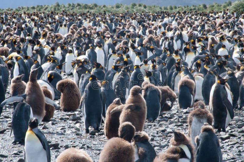 Królewiątko pingwiny na Salisbury równinach zdjęcie royalty free