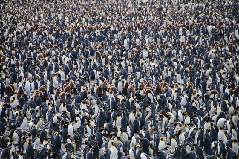 Królewiątko pingwiny na Salisbury równinach zdjęcia royalty free