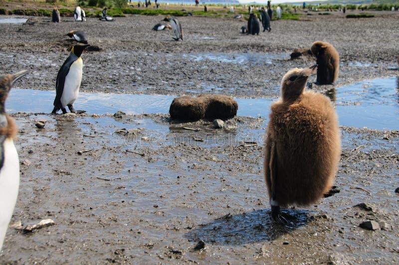 Królewiątko pingwiny na Salisbury równinach obraz stock