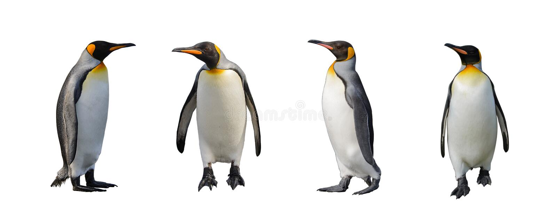 Królewiątko pingwiny odizolowywający zdjęcia stock